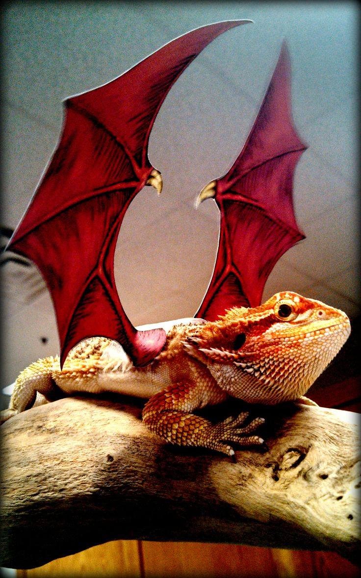 our beardie looks fierce is his halloween costume but heu0027s totally lovable you can