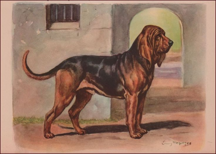 BLOODHOUND Dog by Edwin MEGARGEE, vintage print, authentic 1942