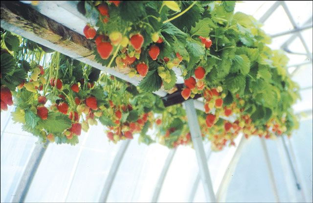 Strawberry gardening outdoor ideas pinterest for Strawberry garden designs