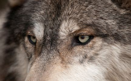 """Animal Rights Groups Unite to Get Wolves the Protection They Need...please write an email to Obama and encourage him to not eliminate the Endangered Species Act.  Easy to do...google """"email the President"""""""