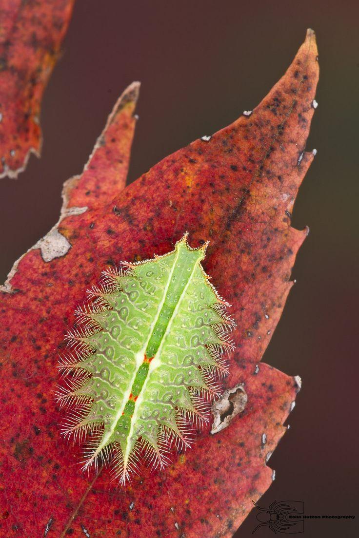 Crowned Slug Caterpillar - Isa textula by ColinHuttonPhoto.deviantart.com on @deviantART