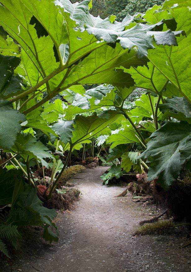 The 'Gunnera Passage' at Trebah Gardens | giant rhubarb (Gunnera Manicata)