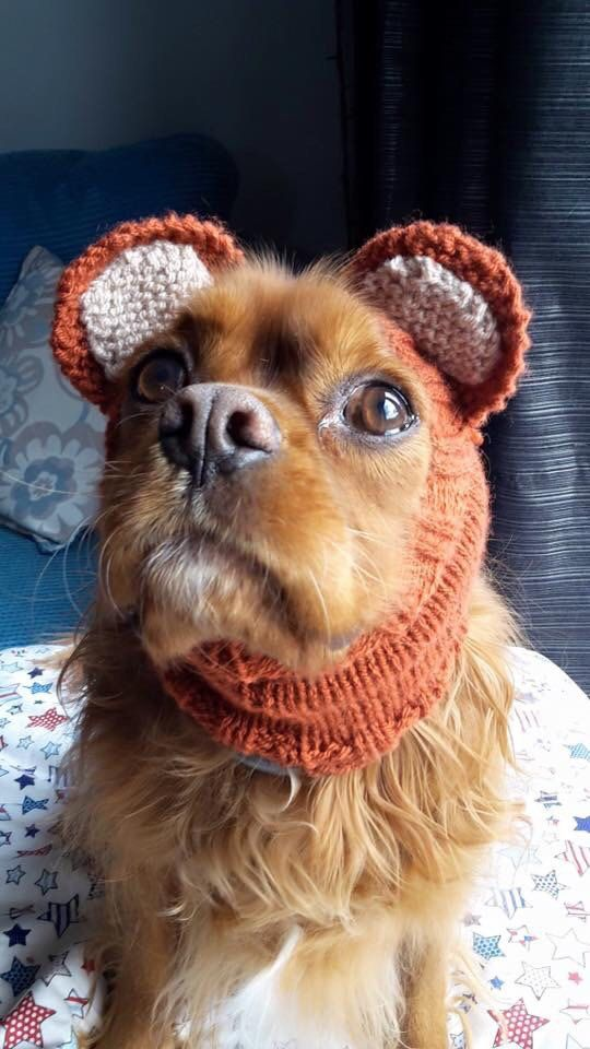 Knitted dog snoods with ears. Inner ears can be in a variety of colours Perfect for raw feeding or for keeping your dogs ears warm. £2 donation to saving cavaliers UK