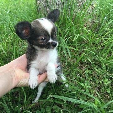 Chihuahua Puppy For Sale In Houston Tx Adn 33101 On Puppyfinder
