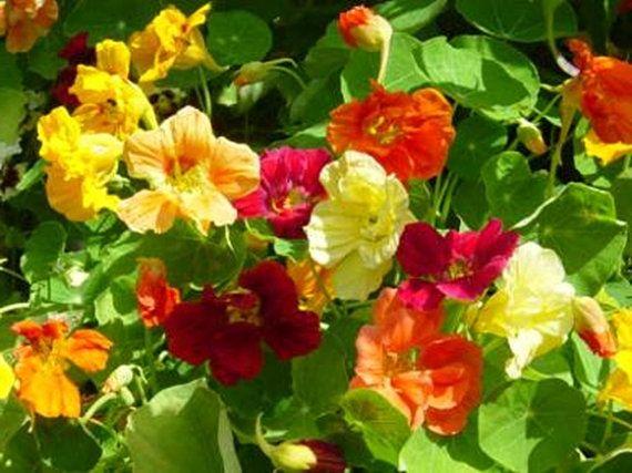 Nasturtium Gourmet Salad Mix Edible Flower Organic Heirloom Herb Seeds on Etsy, $1.24
