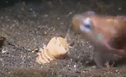 El gusano Bobbit o Bobbitt (Eunice aphroditois) es una especie de anélido poliqueto de la familia Eunicidae. Vive en el fondo oceánico, donde entierra su cuerpo en una cama de arena, grava, barro o corales, donde espera pacientemente a un estímulo en una de sus cinco antenas, atacando cuando detecta a una presa. Armado con dientes afilados, es capaz de atacar a velocidades tales que corta a su presa en dos. Aunque el gusano caza, es omnívoro