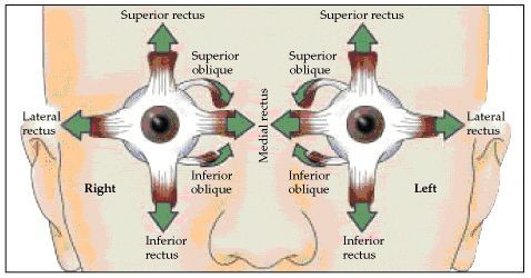 cranial+nerve+function+test | Insufficient convergence is the inability to maintain proper binocular ...