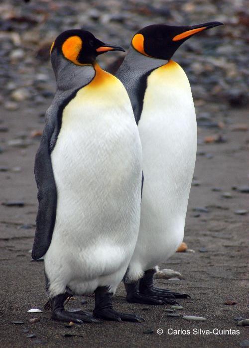Pinguino rey - AVES DE CHILE