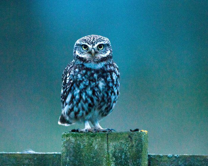 Little owl  Pinned by www.myowlbarn.com