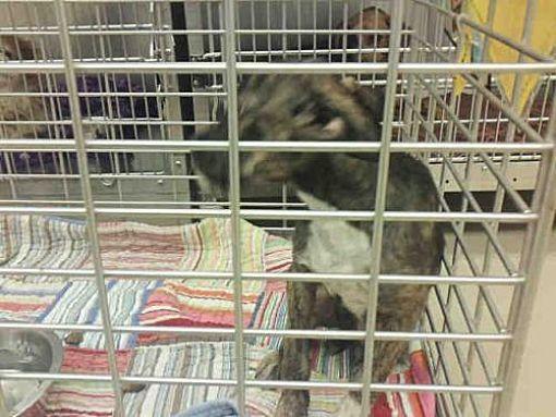Austin Tx Border Terrier Meet A779752 A Dog For Adoption