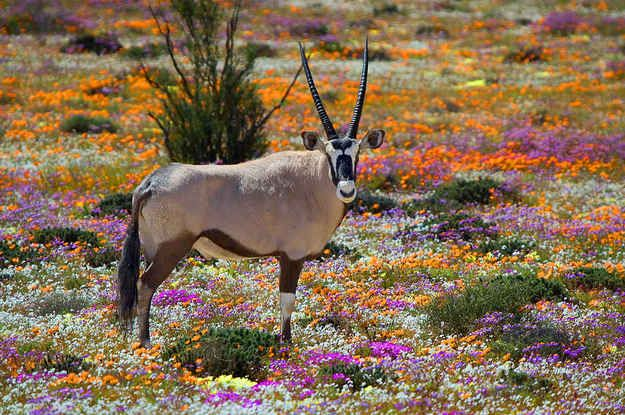 Namaqualand, South Africa - Oryx in wild flowers in spring time