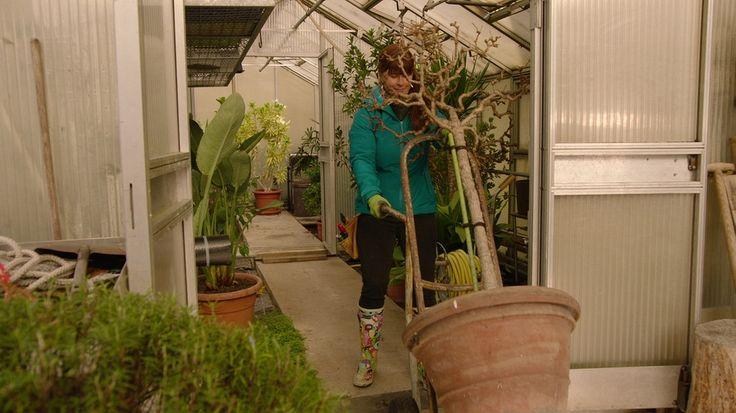 Wer als Pflanze eigentlich in südlichen Gefilden zuhause ist, hat es im deutschen Winter nicht leicht. Das gilt besonders für exotische Kübelpflanzen wie Fuchsien oder Kamelien. Aber was ist nötig, damit die Pflanzen gesund über den Winter kommen?