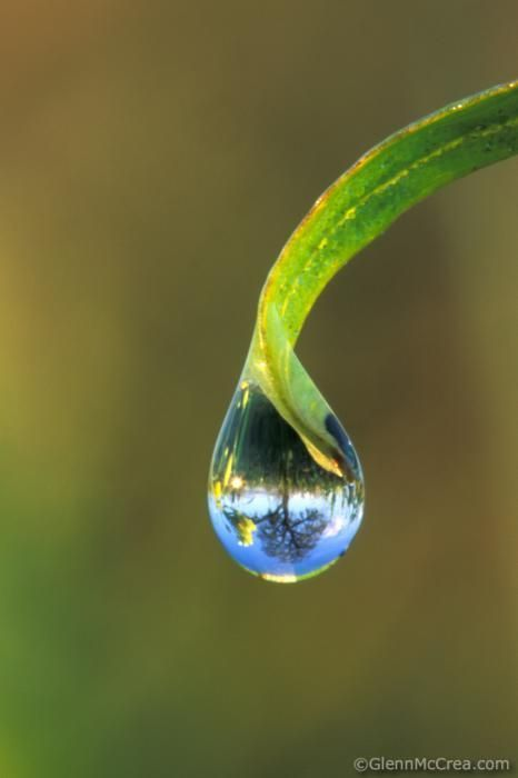 Dew or dewdrop on grass with refracted oak tree - Macro ...