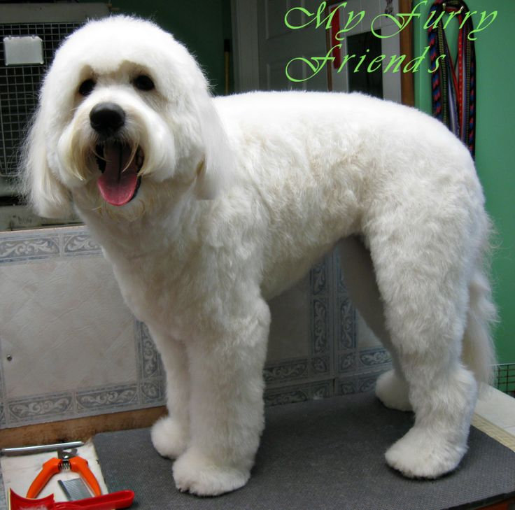 doodle grooming styles products i love goldendoodle