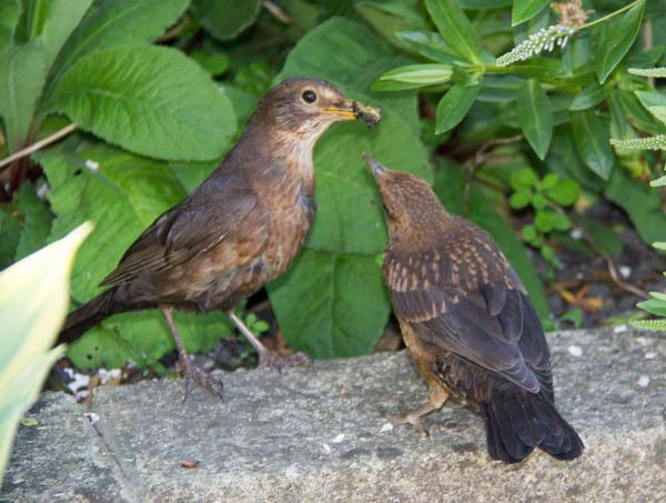 Female blackbird feeding youngster, standing on the edge of the patio