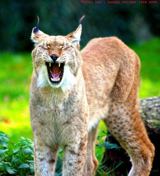 pictures of animals at white mountains az | Iberian Lynx (Lynx pardinus ), is the world's most endangered ...