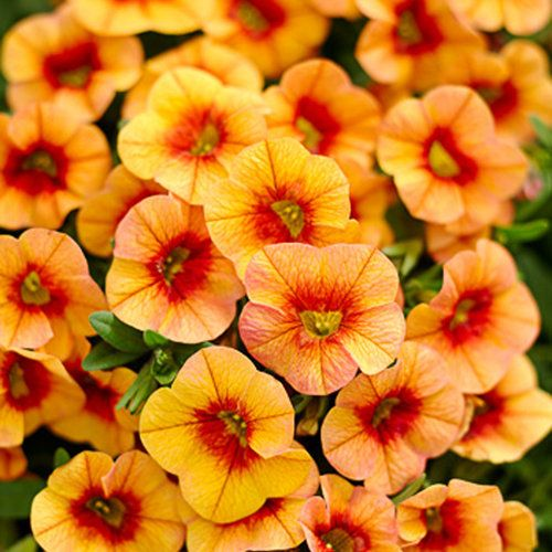 Proven Winners Superbells 174 Tangerine Punch Calibrachoa