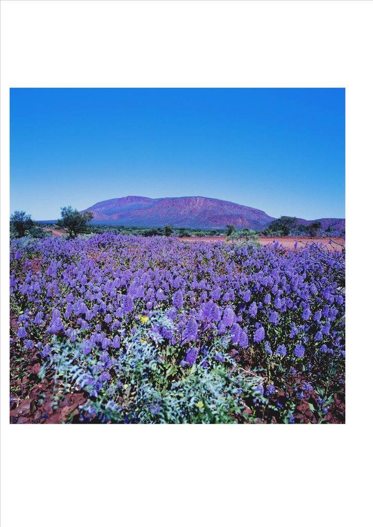 The purple Mulla Mulla at Mount Augustus. Western Australia / http://www.australiasgoldenoutback.com/travel-destinations-outback-australia/Gascoyne_Murchison