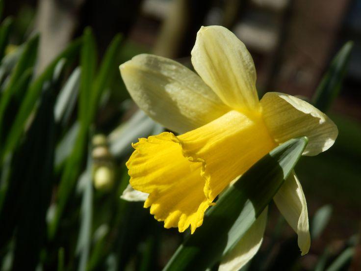 Narcis in lente zon [15feb14] Daffodil in the sun