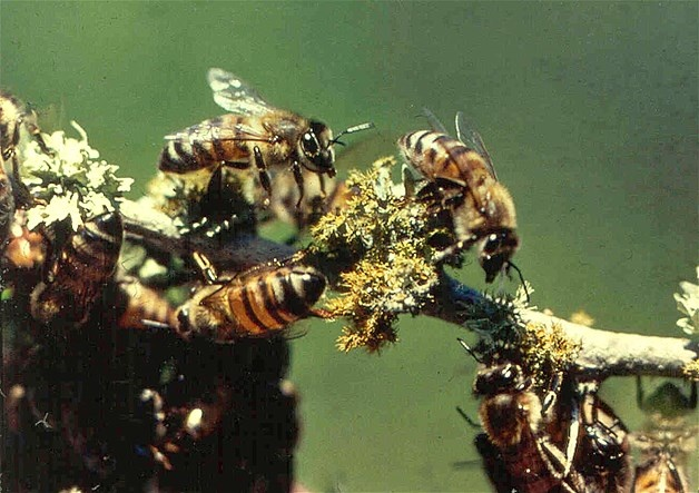 Image: Abeille tueuse ou abeille africanisée (© Texas Cooperative Extension/Jerrold Summerlin/AP)