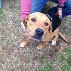 Lizzy - Labrador Retriever Dog For Adoption