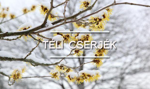 télen virágzó cserjék Tudj meg róluk többet! http://kert.tv/telen-viragzo-cserje-igen/