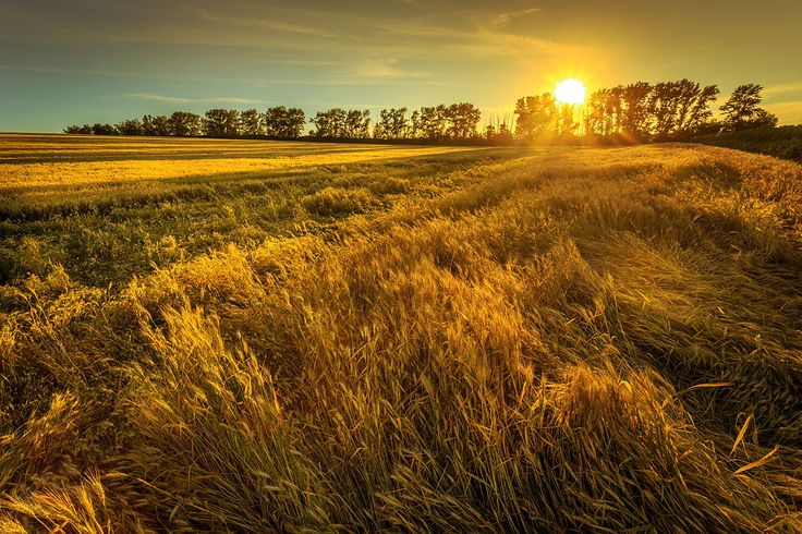 Wheat field by Mark Sivak on 500px