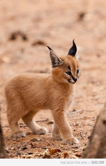 Baby wild cat | Wild cats | Pinterest