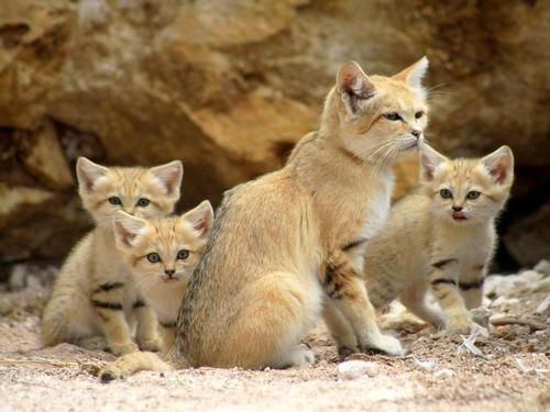 """Sand Cat mother & her kittens ♥   The Sand cat (Felis margarita), also referred to as the """"sand dune cat"""", is a small wild cat distributed over African and Asian deserts. (The name """"desert cat"""" is reserved for Felis silvestris lybica, the African wildcat.) The Sand cat lives in arid areas that are too hot and dry even for the African Wildcat: the Sahara, the Arabian Desert, and the deserts of Iran and Pakistan.    (via 100% Animal)"""