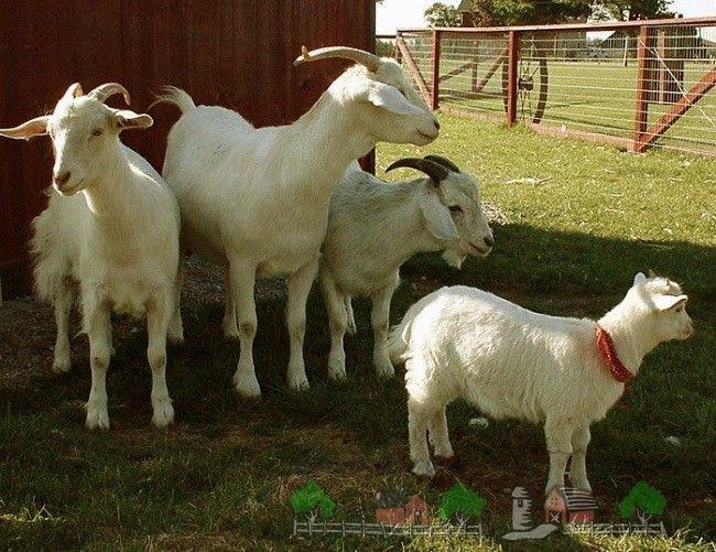 Содержание и разведение коз в домашних условиях на личном подворье, дачном участке или приусадебном хозяйстве: фото и видео