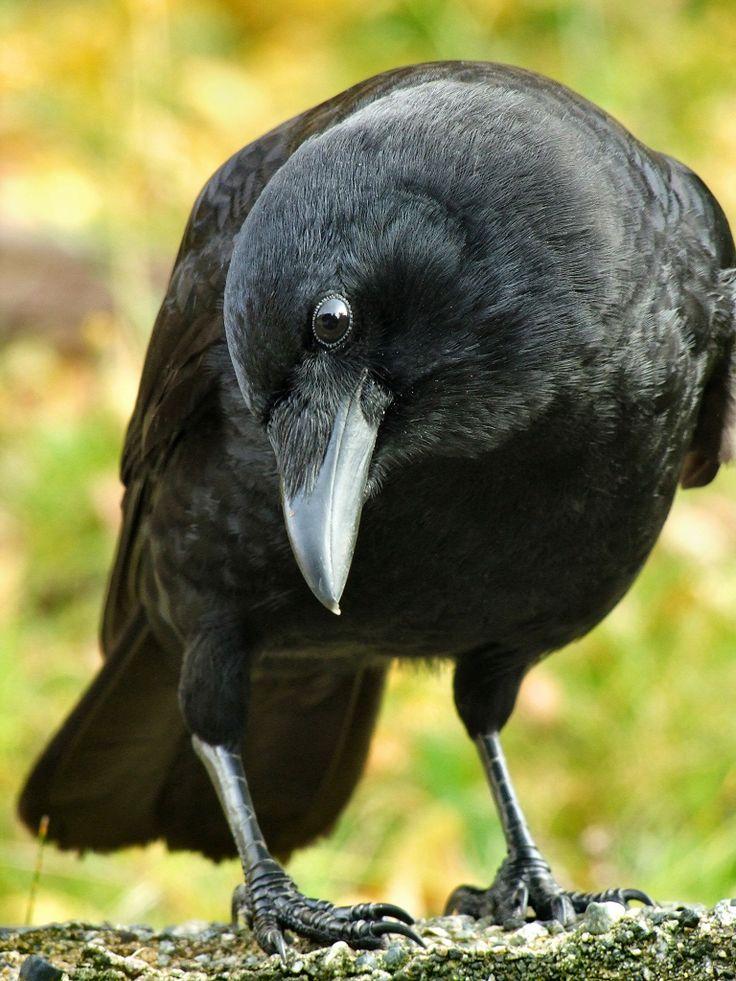Crows Raven:  Curious...