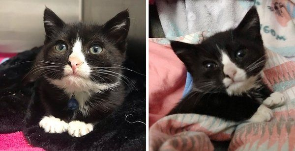 Kitten With Stubby Legs Dropped Off At Shelter Finds Someone Who Never Gives Up On Him Kittens Cute Cats Animals