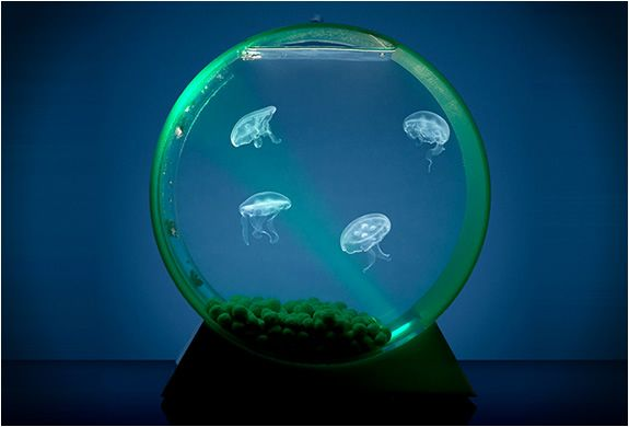 Jellyfish are fascinating creatures, hypnotizing to watch, but home aquariums could not have them as they would be sucked into the water filtration system. With this in mind, student Alex Andon, began to develop an adapter for tanks to make them jellyfish friendly. The creatures themselves are not harmful to humans and can be purchased for $39 a unit at Jellyfish Art website. Light is provided by a LED lamp, and the color can be changed using a remote control.