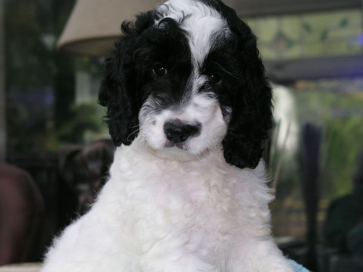 Best 25 Cockapoo Puppies For Sale Ideas On Pinterest -3897