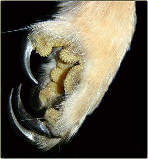 Short-Eared Owl Talons by FannyFawn