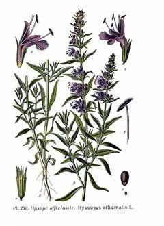 Hyssopus officinalis Hyssop