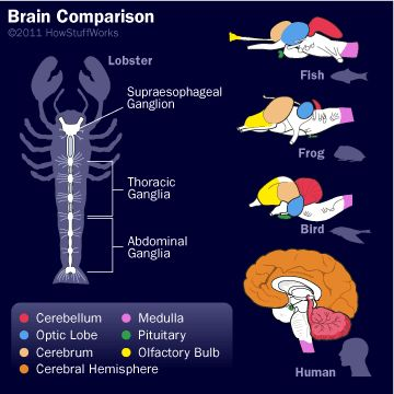 As you proceed up the evolutionary ladder from fish toward humans, check out the changes in the brain. For example, the cerebrum gets bigger, takes up a larger part of the total brain and becomes folded.