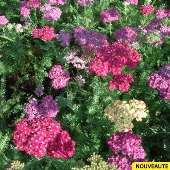 Achillea Millefolium Saucy Seduction Plante Vivace A Fleurs D Un