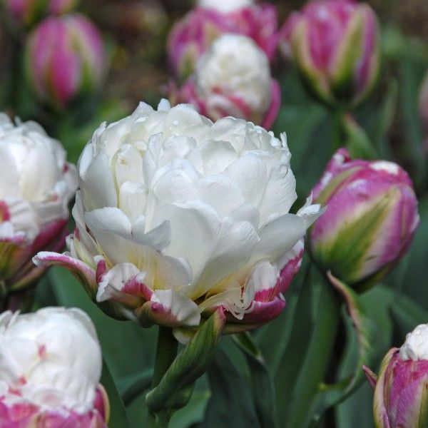 17 best Tulpen images on Pinterest | Autumn, Beautiful flowers and Bulb