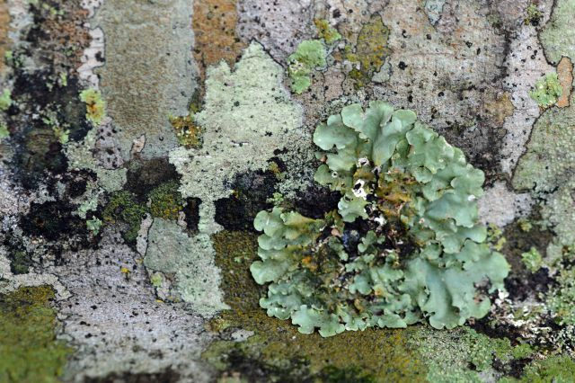 The presence of a wide diversity of lichens is often an indication of an unpolluted atmosphere. growing on a tree trunk in Kuranda, Australia