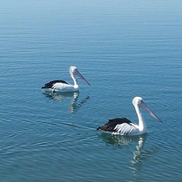 Pelicans on Lake Illawarra NSW