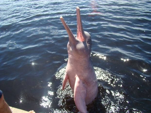 Boto-côr-de-rosa, recebendo alimento de turistas, no Rio Negro, em Novo Airão, município do estado do Amazonas, Brasil.  Fotografia: glaubercr em http://www.mochileiros.com