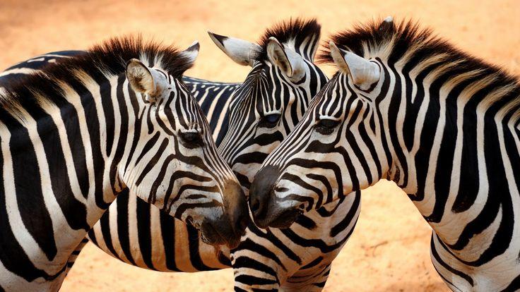 Скачать обои зебра, грива, копыта, взгляд, раздел в разрешении 1600x900