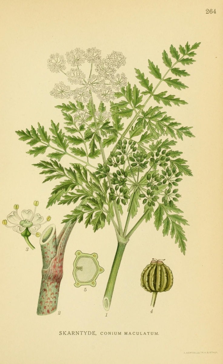 Poison Hemlock Plant Drawings