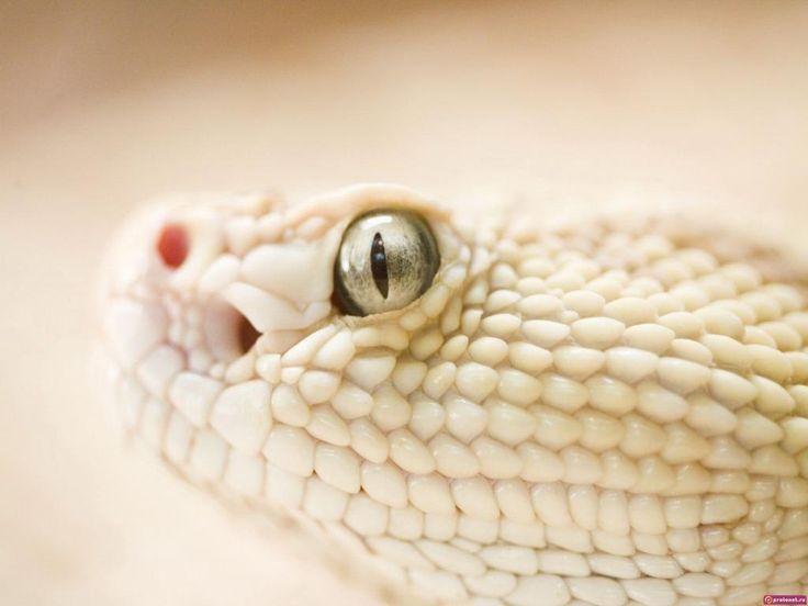 Reptiles - fonds d'écran gratuit: http://wallpapic.fr/animaux/reptiles/wallpaper-33062