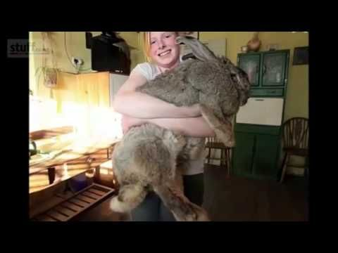 "World's Largest ""Bunny Rabbit"" Weighs 55 Pounds Has Crazy Diet!"