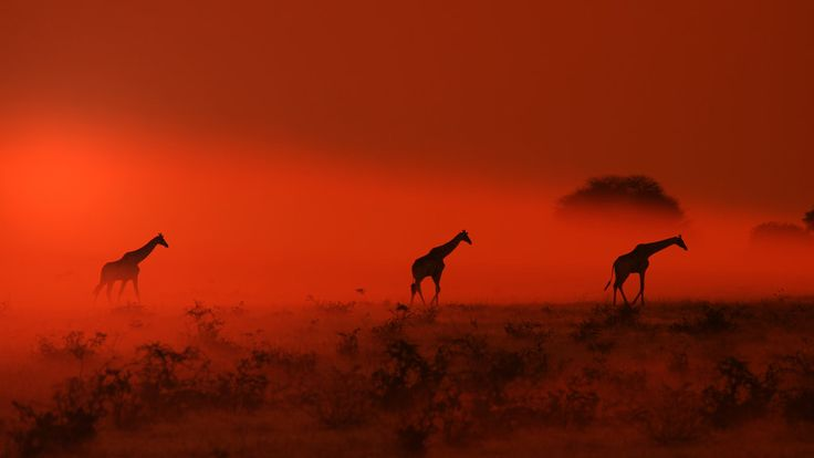 A trio of Southern African Giraffes wander out of red sunset dust  by Hermanus A Alberts