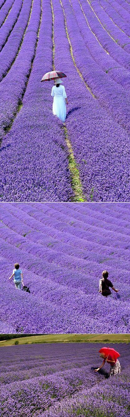British Lavender Fields, GreatBritain.