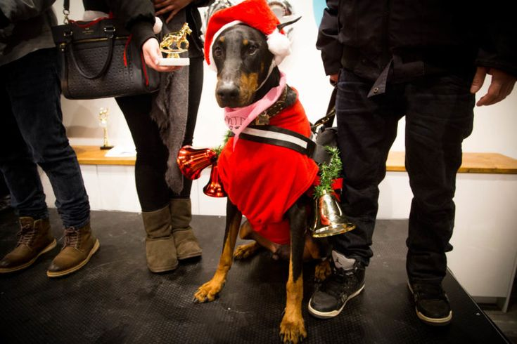 Bentley 8 years old, doberman represented by Hot Paws Talent Agency, winner of the extra large dog category.