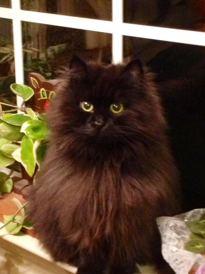 Beautiful Anya solid black Hypo-Allergenic Cat.  She is a retired breeder from Croshka Siberians.  Kittens available www.siberian-cat.net